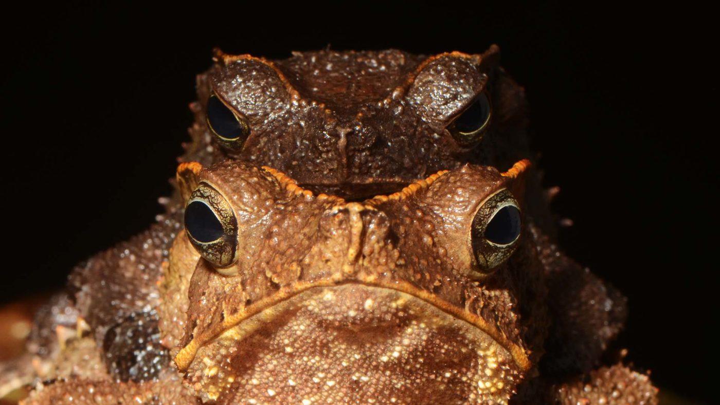 Pedro Peloso frogs