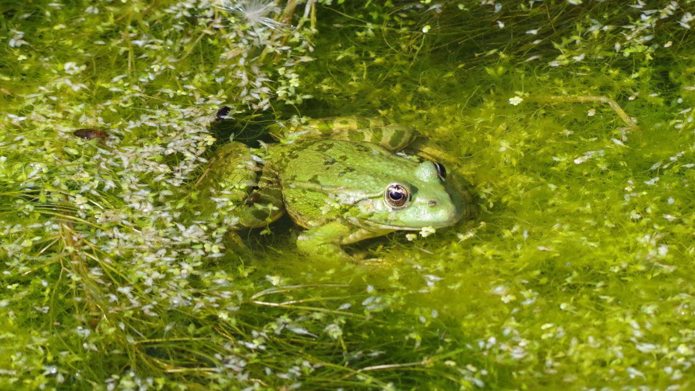 Pelophylax ridibundus Marsh Frog