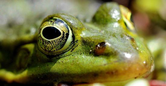 Pelophylax ridibundus common green frog Bart van Oijen 3 550