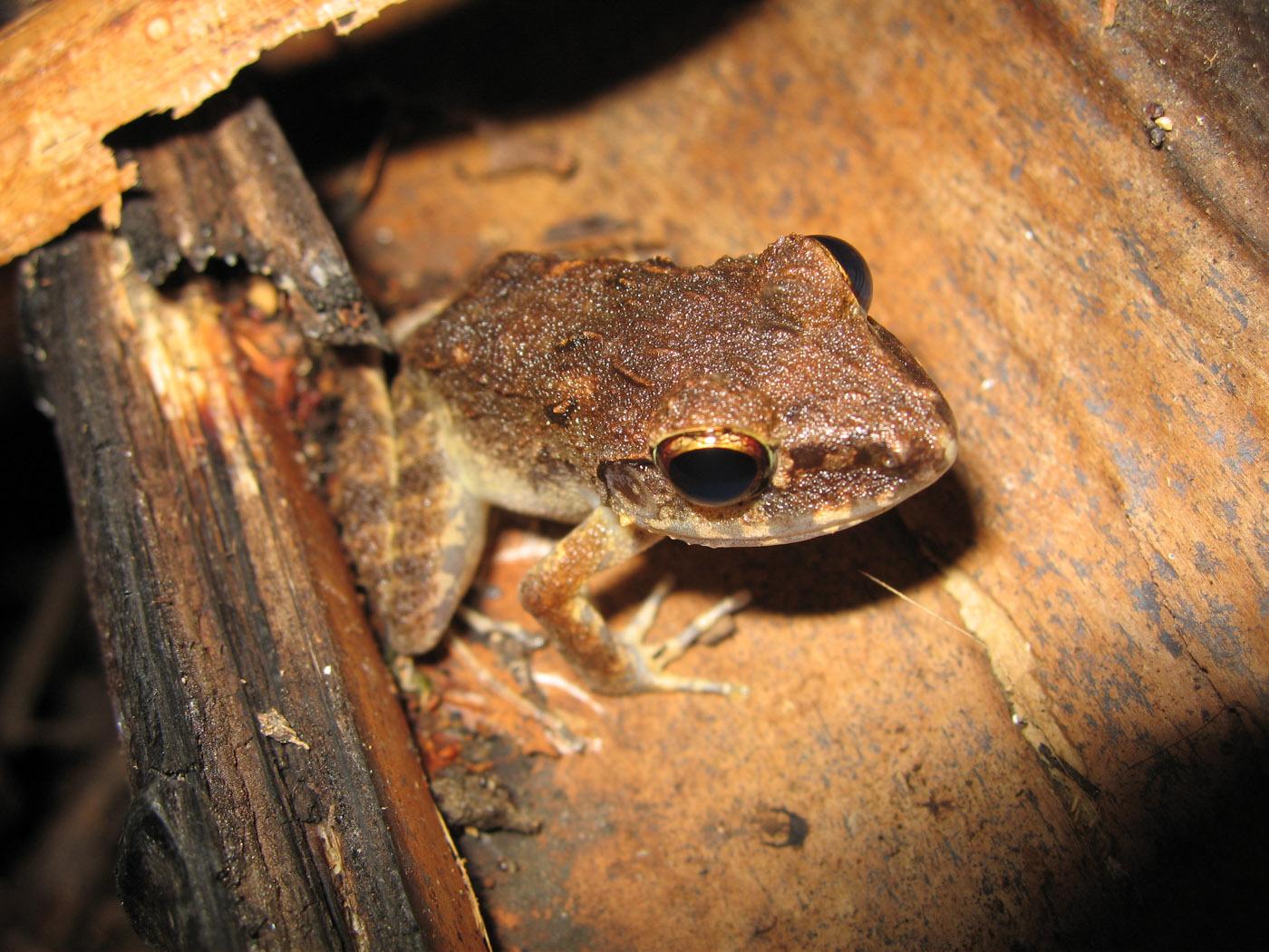 Plattymantis papuensis, PNG