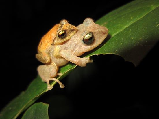 Pristimantis palmeri amplexus Colombia Frogs Amphibians