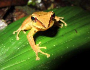 Pristimantis-sp-unknown-caqueta-1800m-face-a Amazophrynella-minuta-Victor-Luna Colombia Frogs Amphibians