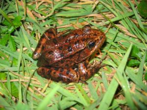 Rana draytonii - Jamie Bettaso California Red-Legged Frog