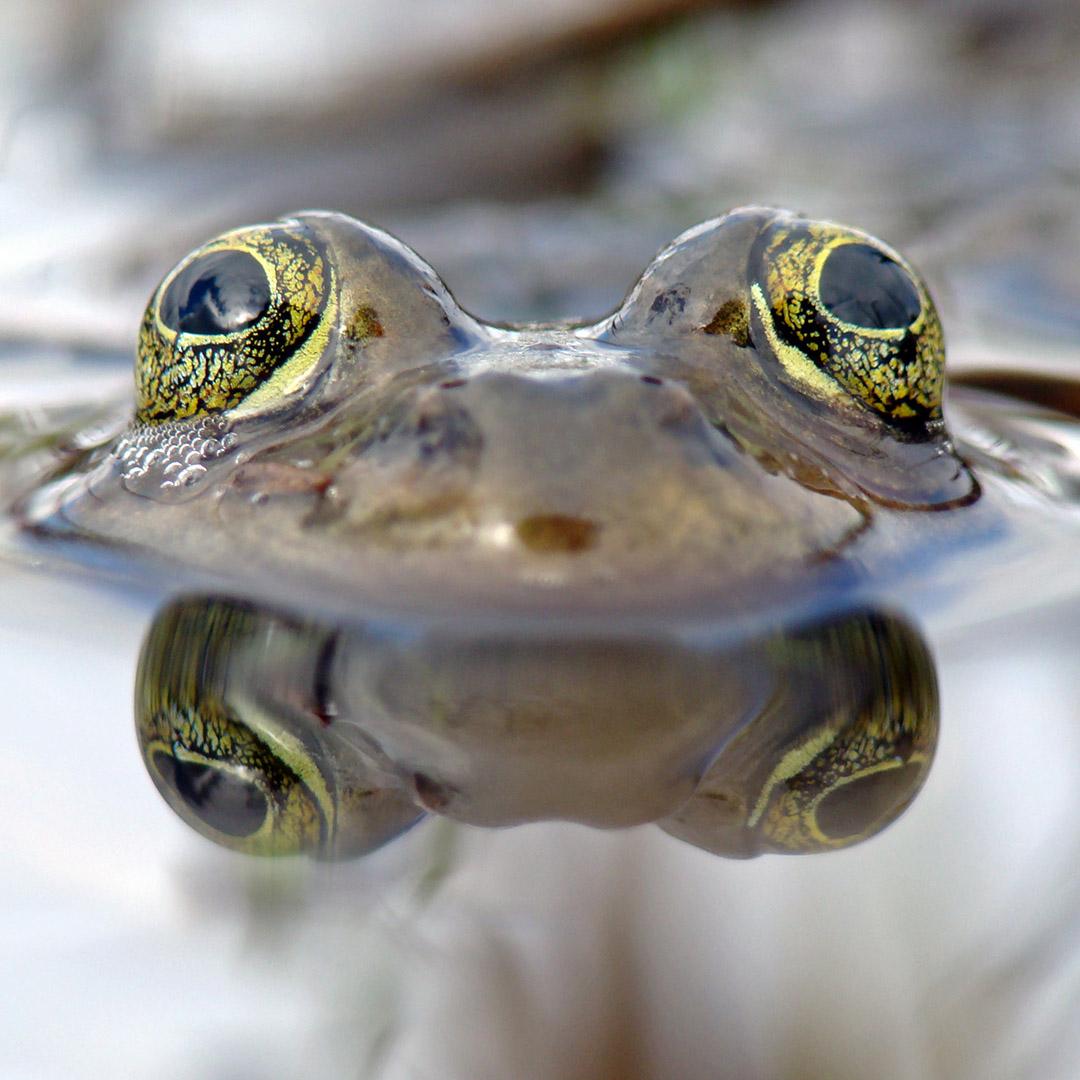 Rana pretiosa Oregon Spotted Frog Andy OConnor