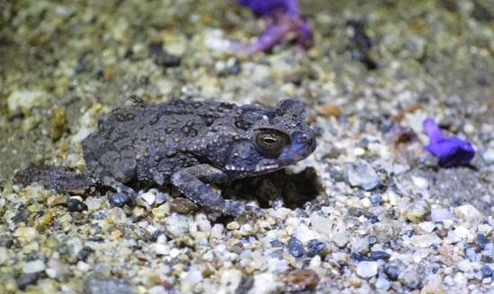 peruvian toads