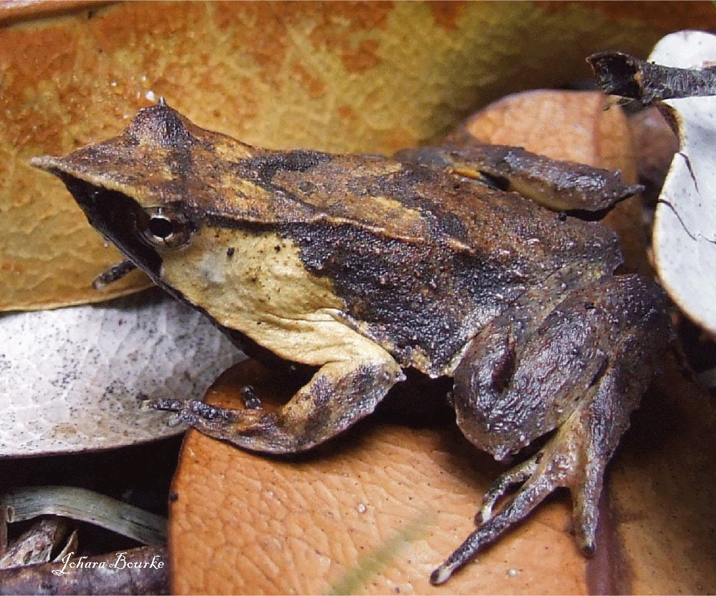 Rhinoderma-darwinii-Johara-Bourke
