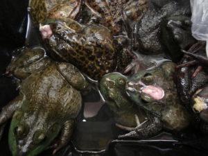 Live Animal Markets - Bullfrogs