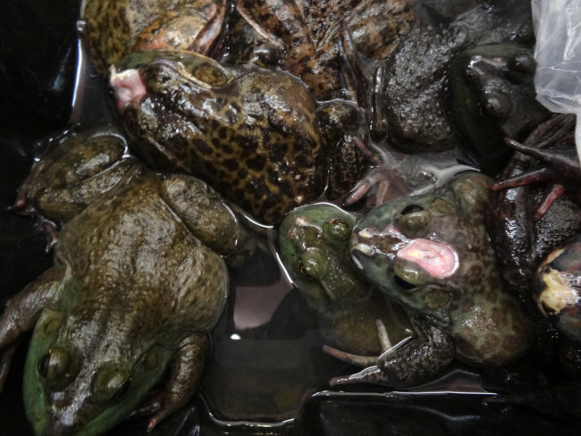 Live Animal Markets - Bullfrogs