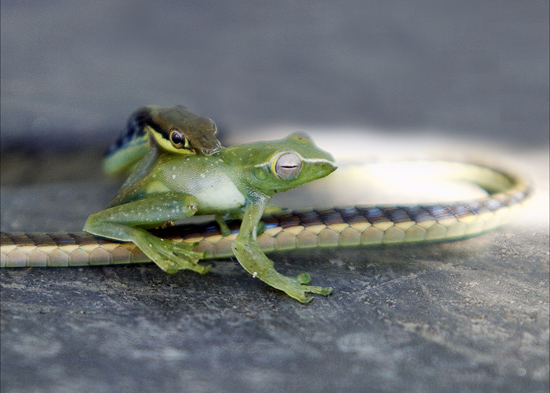 Snake Eating Frog
