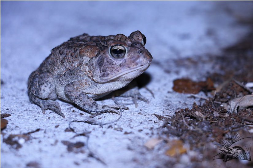Southern Toad WM