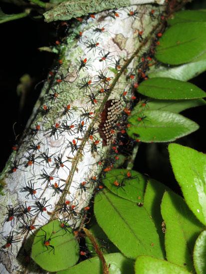 Suchipakari ants