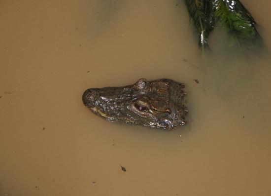 West African Dwarf Crocodile Osteolaemus tetraspis