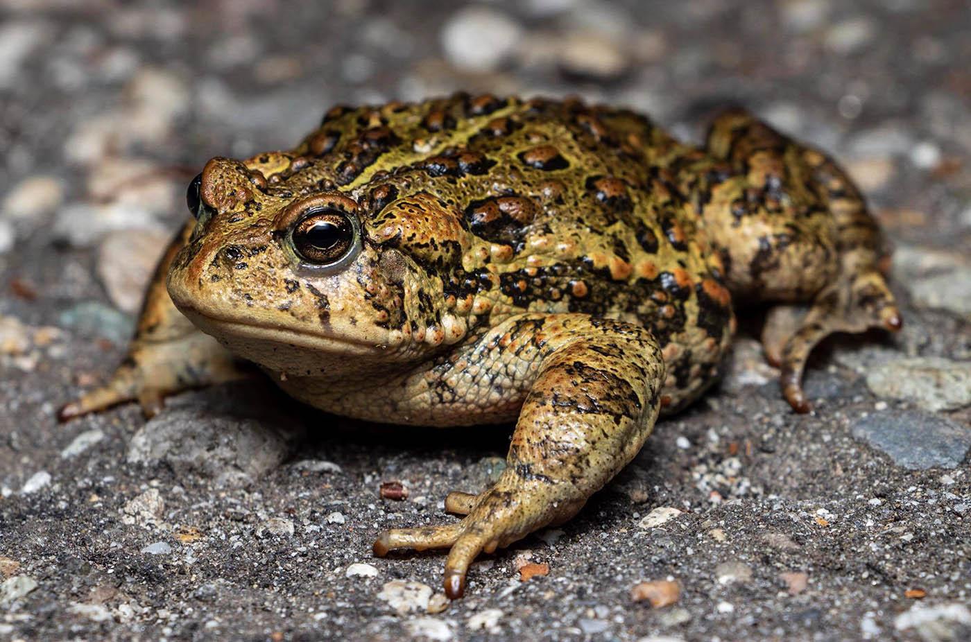 Western Toad Bufo boreas Andrew Nydam