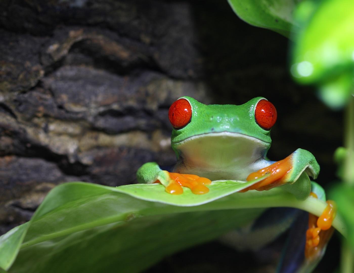 agalychnis-callidryas-red-eye-treefrog