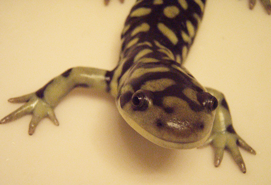 ambystoma californiense tigrinum hybrid michael starkey