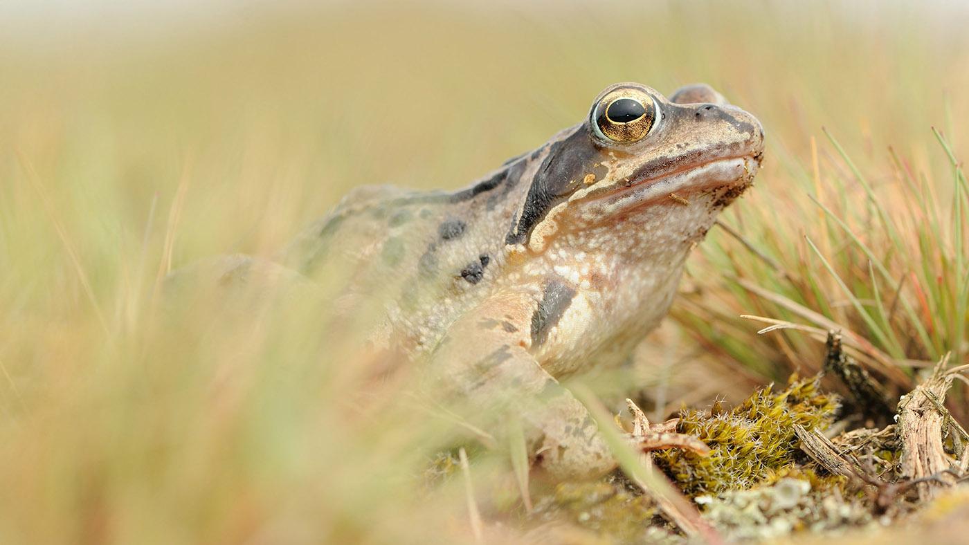 angela de wild rana temporaria common frog