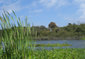 wetlands cattails