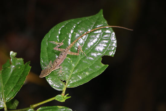 arenal anole