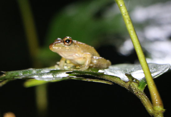 arenal small frog