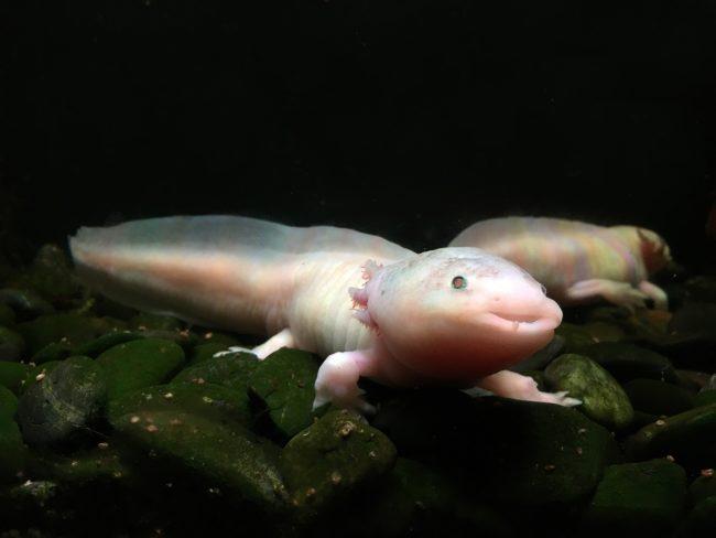 axolotl underwater