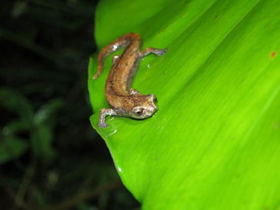 bolitoglossa salamander