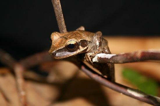 brown treefrog ecuador kaya klop toker