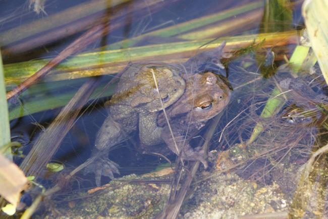 toads amplexus