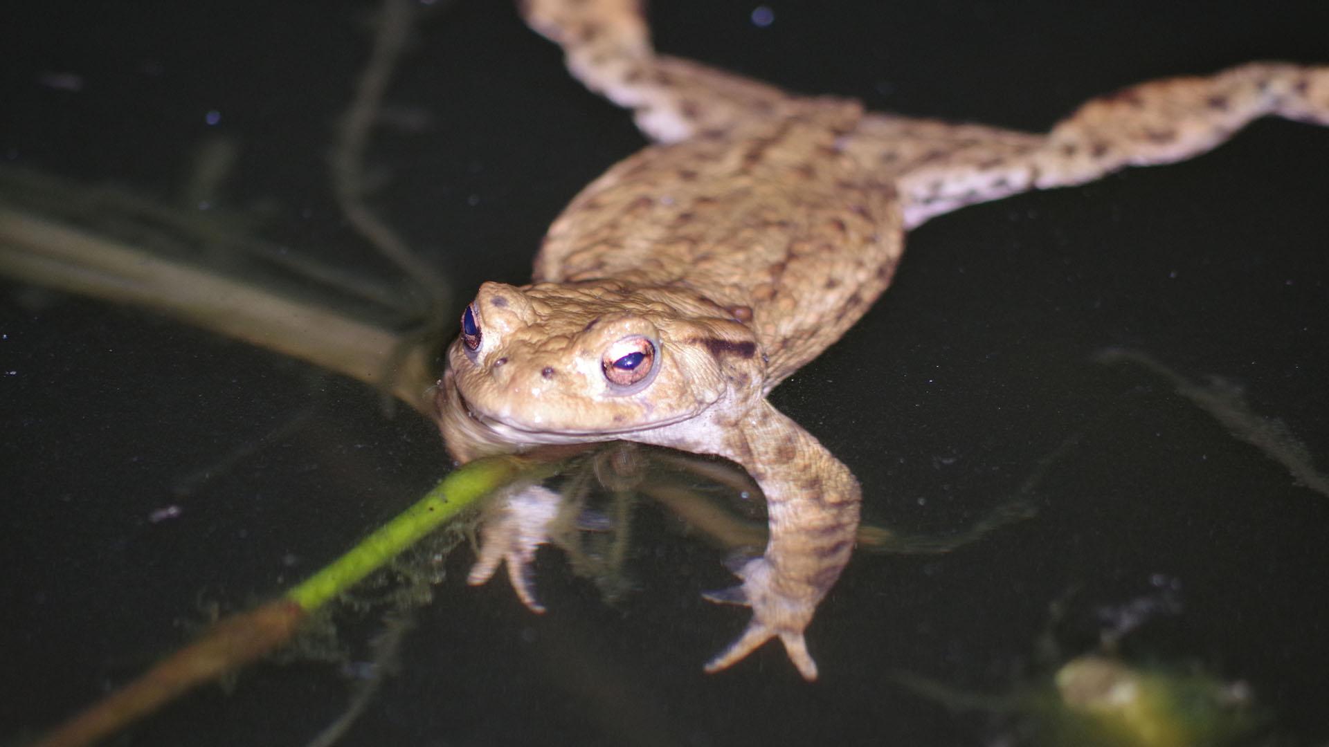 Britain toads