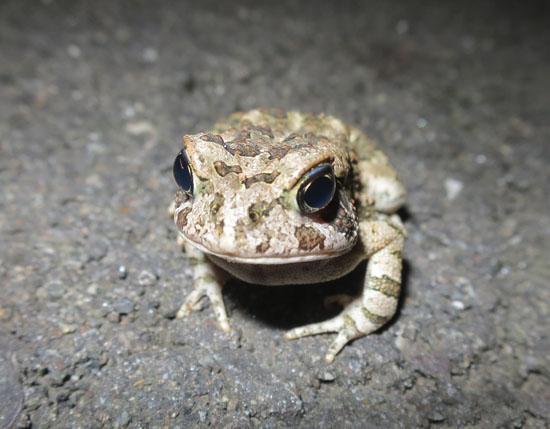 Bufo fowleri fowler's toad