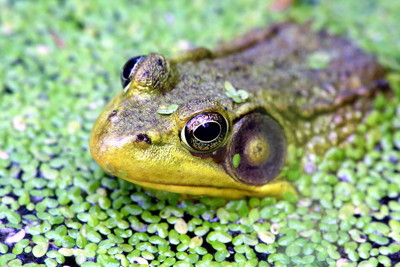 Save The Frogs World Summit 2021