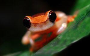 clown-tree-frog dendropsophus