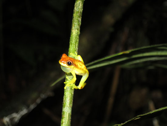 dendropsophus rhodopeplus