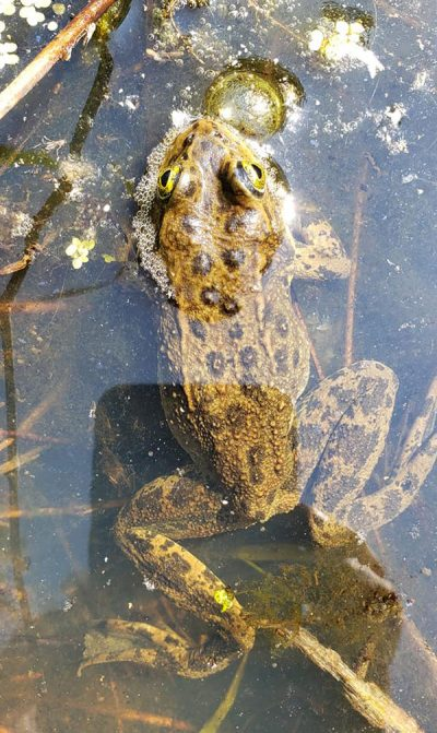 Oregon Spotted Frog - Rana pretiosa Stephen Nyman