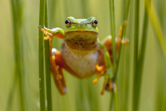 europe tree frog