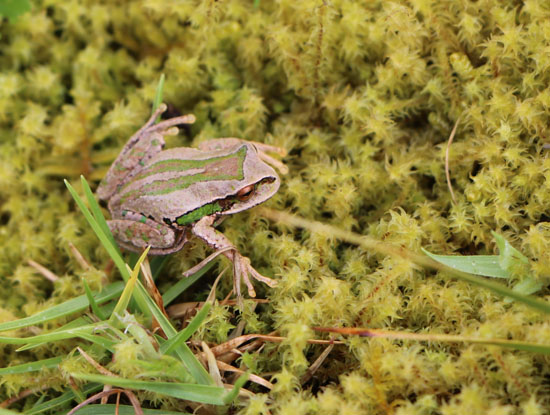 gastrotheca excubitor