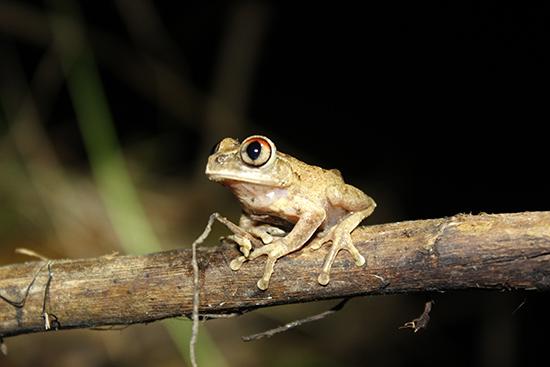 ghana night spirit frog