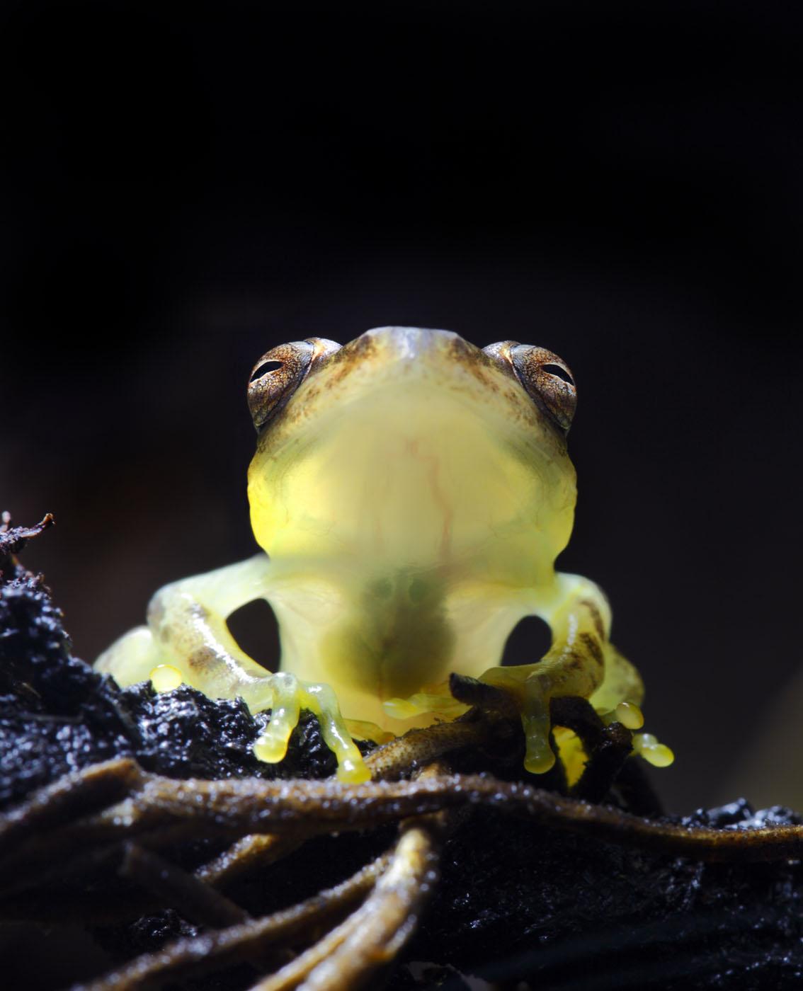 costa rica glass frogs