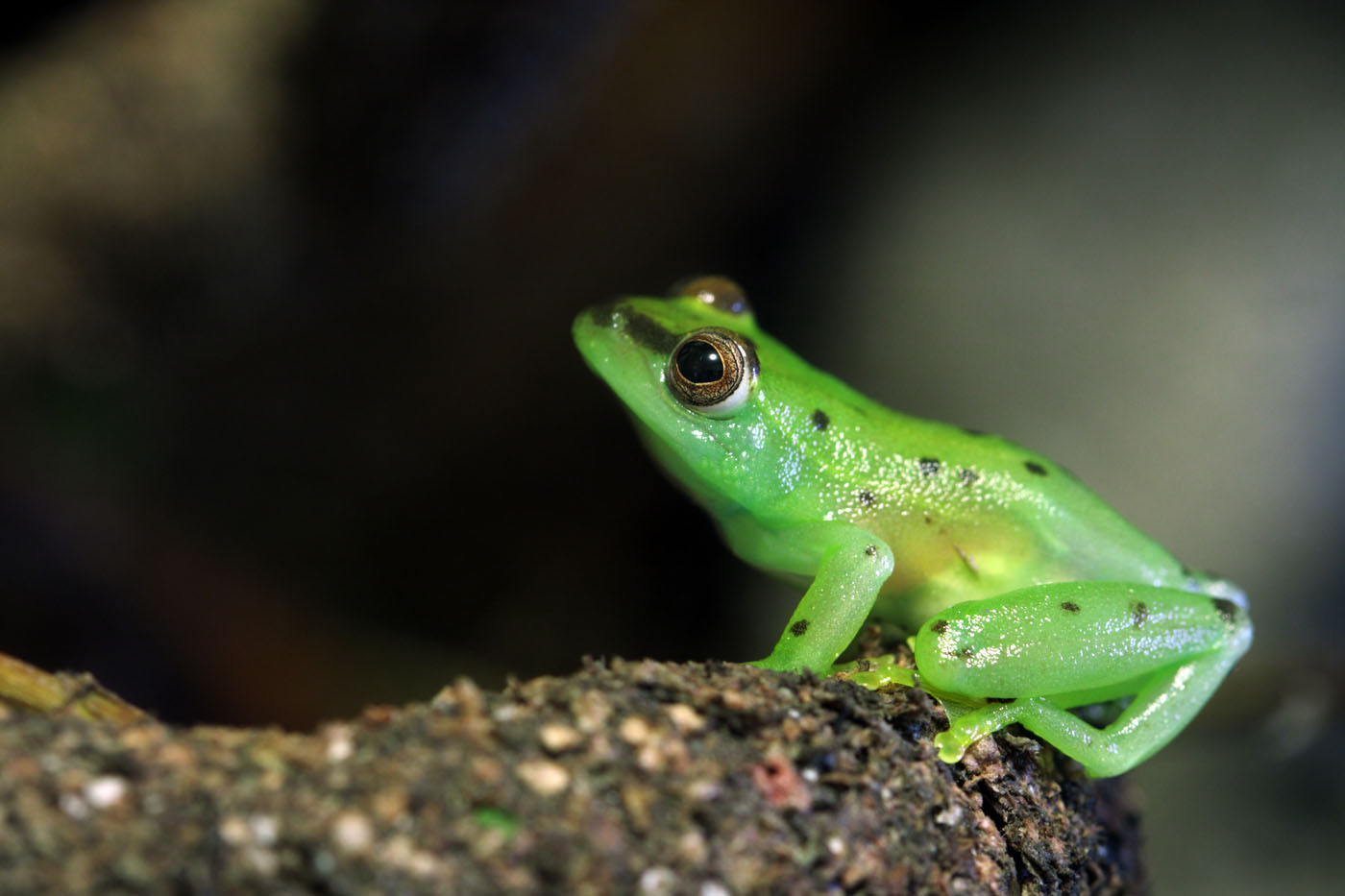 Glass frogs latin america Boana punctata