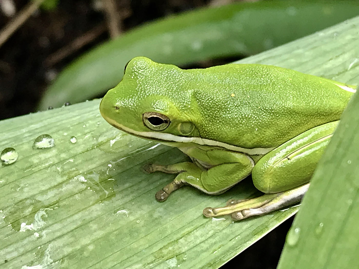 hyla cinerea green treefrog