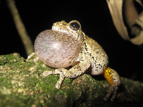 hyla versicolor gray treefrog
