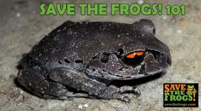 SAVE THE FROGS! 101