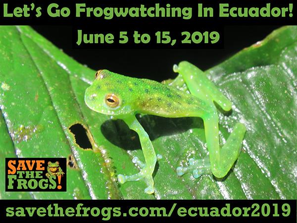 Frogwatching Ecuador
