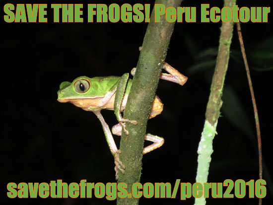 save the frogs peru