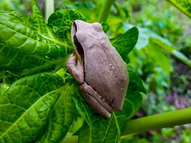 india frog