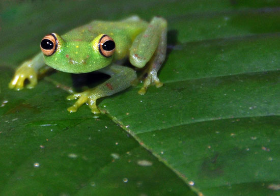 la selva amazon ecolodge ruth van sciver 21 frog1
