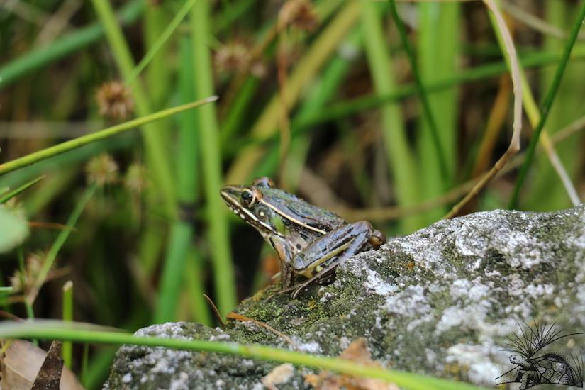 leopard Frog WM