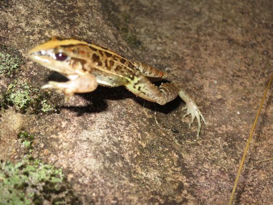 leptodactylus gracilis jumping
