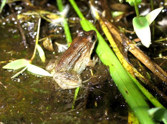 leptodactylus podicipinus