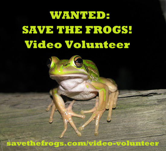 litoria aurea Kaya Klop Toker 2 video volunteer