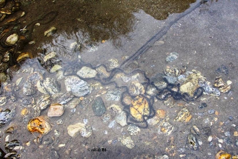manaslu Toad eggs in long chain biraj shrestha